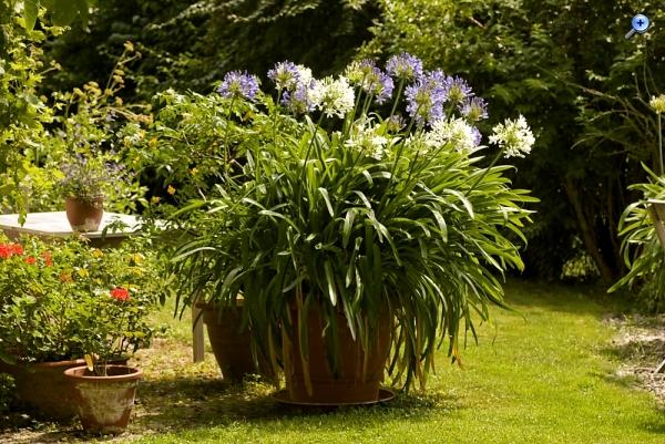 afrikanische lilie agapanthus anzucht botanische. Black Bedroom Furniture Sets. Home Design Ideas